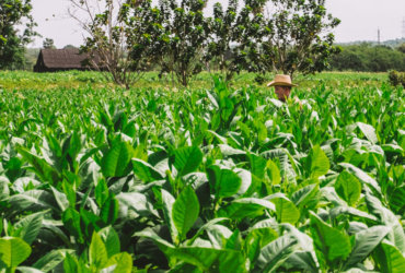 Piantagione di tabacco a Pinar del Rio: cosa succede quando si segue un cubano?