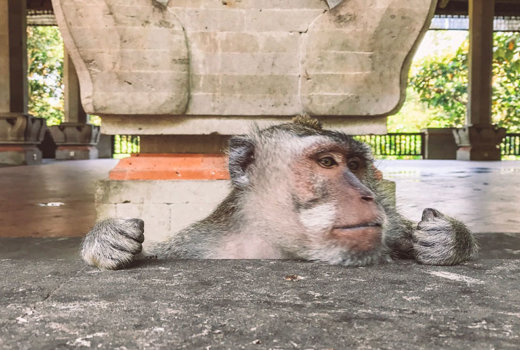 Monkey Forest a Ubud: 700 scimmie hanno trovato la loro casa fra templi sacri ed alberi
