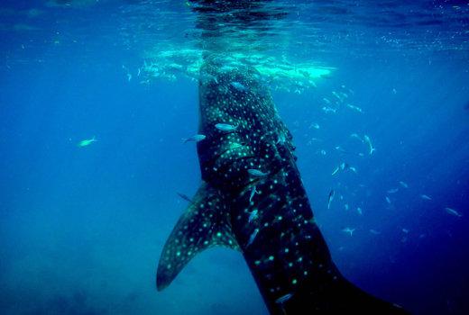 Nuotare con gli squali balena in Messico: entrare nel mare con i giganti
