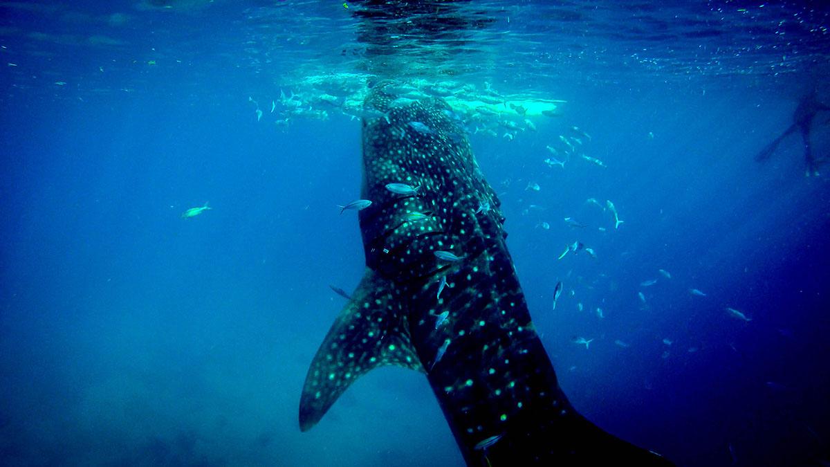 nuotare con gli squali balena in Messico