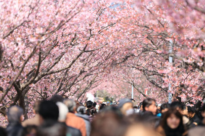 Hanami, l'usanza giapponese di godere della bellezza degli alberi in fiore