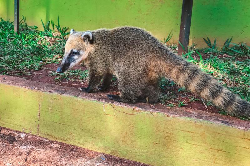 come visitare cascate iguazu coati